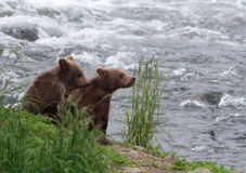 Brown bear cubs along a shoreline Royalty Free Stock Image