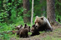 Brown bear with cubs. Bear family. Bear family in forest Royalty Free Stock Photography