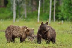 Brown bear cubs Royalty Free Stock Photos