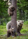 Brown bear cubs climbs a tree. She-bear and cubs in the summer forest. royalty free stock photo