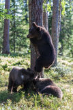 Brown bear cubs in Finland forest Royalty Free Stock Photography