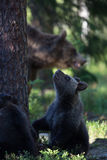 Brown bear cubs in Finland forest Royalty Free Stock Photos