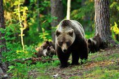 Brown bear with cubs Stock Image