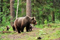 Brown bear with cubs Royalty Free Stock Photo