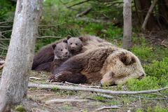 Brown bear and cub. Brown bear with cubs in forest Royalty Free Stock Photography