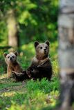 Brown bear cubs in the forest Royalty Free Stock Image
