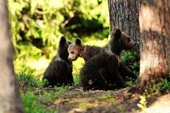 Brown bear cubs in the forest Royalty Free Stock Photography