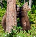 Brown Bear Cubs playfully fighting. stock image