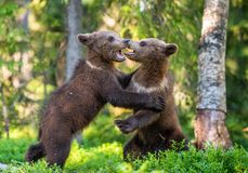 Brown Bear Cubs playfully fighting,. Scientific name: Ursus Arctos Arctos. Summer green forest background. Natural habitat stock images