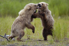 Brown bear cubs playing. On the river bank Royalty Free Stock Photos