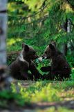 Brown bear cubs playing Stock Photography
