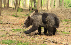 Brown bear cubs playing Stock Images