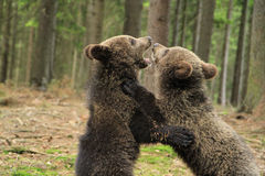 Brown bear cubs playing Royalty Free Stock Image