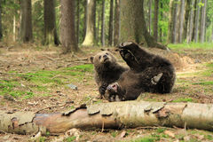 Brown bear cubs playing Stock Image