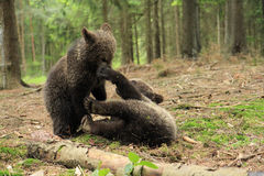 Brown bear cubs playing Stock Photos