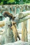 Brown bear cubs playing Stock Image