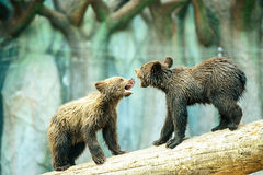 Brown bear cubs playing Royalty Free Stock Photos