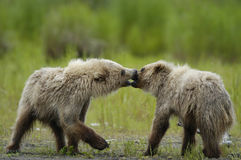Brown bear cubs playing and kissing. On the river bank Stock Images