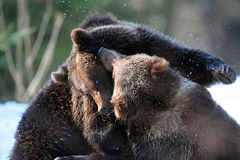 Brown bear cubs playing into the woods. Two brown bear cubs playing in snow in winter season,Maramures Mountains, Romania Royalty Free Stock Photography