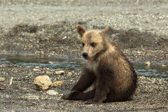 Brown bear cubs on the shore of Kurile Lake. Royalty Free Stock Photography
