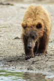 Brown bear cubs on the shore of Kurile Lake. Stock Image