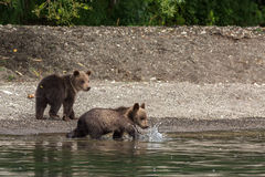 Brown bear cubs on the shore of Kurile Lake. Royalty Free Stock Image