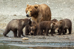 Brown bear with cubs on the shore of Kurile Lake. Stock Image