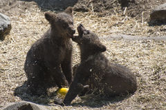 Brown Bear Cubs in Sweden royalty free stock image