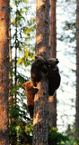 Brown bear cubs on tree Royalty Free Stock Photo