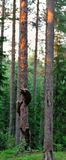 Brown bear cubs on tree Stock Photo