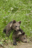 Brown bear cubs Stock Photos