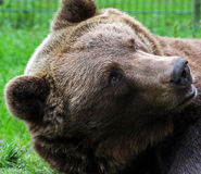 Brown bear. Curious Brown bear  in the gras Stock Photography