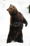 Brown bear dancing crazy in the snow Royalty Free Stock Photos