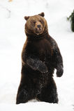 Brown bear dancing in the snow Royalty Free Stock Photography