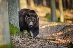 Brown bear in forest Royalty Free Stock Image