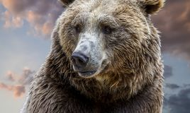 brown bear, detail of the majestic head with its hair and intense look on cloudy background at sunset royalty free stock photo