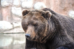 Brown Bear. Detail of the brown bear in water Royalty Free Stock Photos