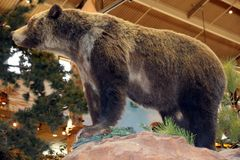 A brown bear display Stock Images