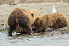 Brown bear divides caught fish with cubs. Kurile Lake. Stock Photography