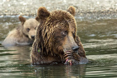 Brown bear does not want to share caught salmon with her cubs. Kurile Lake. Stock Images
