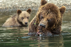 Brown bear does not want to share caught salmon with her cubs. Kurile Lake. Royalty Free Stock Photos
