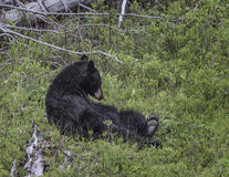 Brown Bear. Doing sit ups; Yellowstone National Park Stock Images