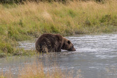 Brown Bear Drinking Stock Image