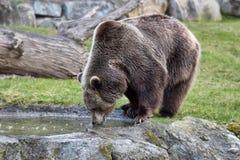 Brown bear drinking water Royalty Free Stock Photos