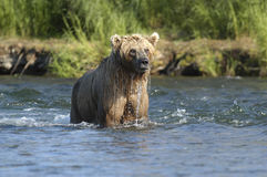 Brown bear with dripping water. While standing in Brooks River Royalty Free Stock Photography