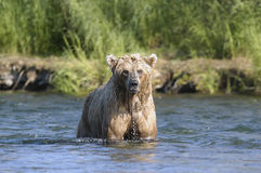Brown bear with dripping water. While standing in Brooks River Royalty Free Stock Images