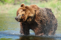 Brown Bear Drying Off Stock Images