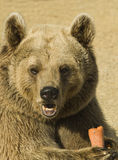 Brown Bear Eating Royalty Free Stock Photography