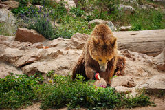 Brown bear eating apple. Brown european bear sitting at ground and eating an apple stock photo