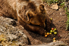 Brown bear eating apples Royalty Free Stock Photo